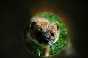 Stoat in a tunnel. Image: Patrick Garvey.