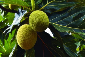 Breadfruit, one of the crop species held by the Pacific Seeds Bank. Ashay VB, CC BY-SA 4.0