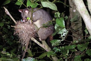 Possum with nest