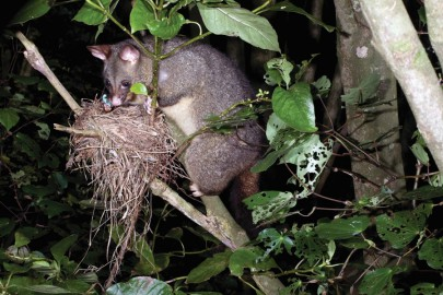 Possum eating eggs from a bird's nest