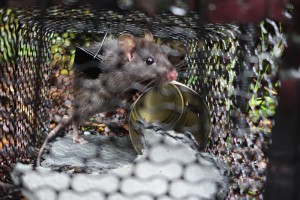 Rat in live capture trap. Image: Max Harvey.