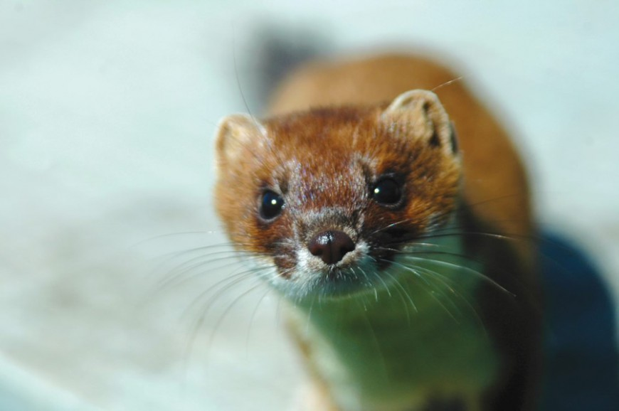 The stoat (Mustela erminea) is one of New Zealand's 'most wanted' pest predators