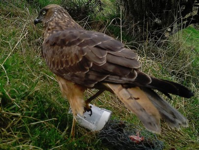 One of many Australasian harrier hawks that attempted to remove the rabbit lure.
