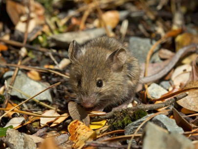 House mice frequently survive eradication attempts in mainland ecosanctuaries, and so may become abundant if a predator free New Zealand is successfully achieved.