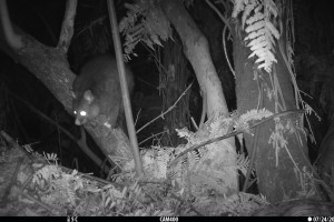 Possum - trail camera monitoring for bait aversion.