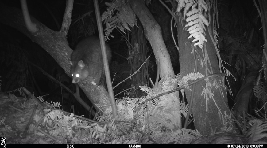 Trail camera-monitoring for bait aversion. The possum is investigating but not eating a non-toxic cereal bait nailed to a tree.