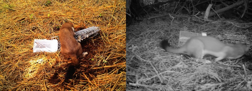 Examples of pictures of stoats captured from the pilot stoat monitoring programme in the Halo region.