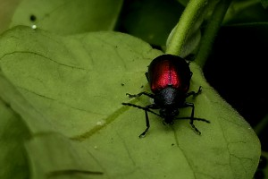 [Freudeita cupripennis], the moth plant beetle.