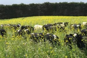 Cattle in field.  Regenerative agriculture.