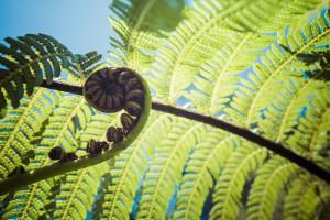 Koru (unfurling fern frond) in the forest