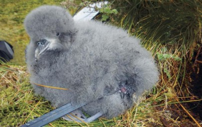 Prion chick with injury caused by mouse attack.