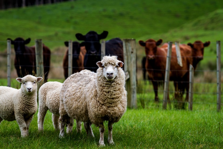 Cattle and sheep in a pasture