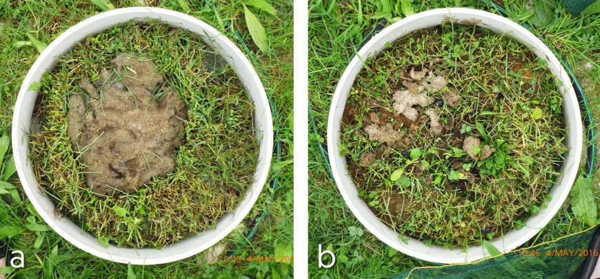 Figure 1. Dung pat 22 days after application without (a) and with dung beetles (b).