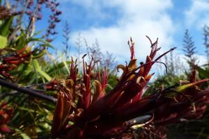P tenax flower