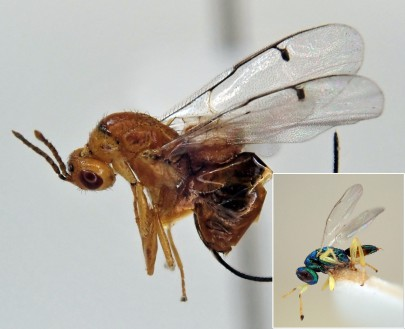 Douglas fir seed chalcid (DFSC) adult with DFSC parasitoid (inset)