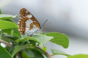 Honshu white admiral butterfly