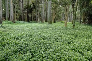 Tradescantia infestation in a Waikato forest