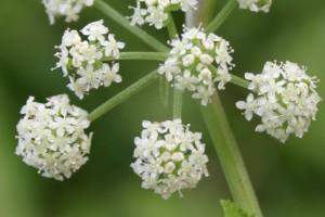 Water celery ([Helosciadium nodiflorum]; synonym [Apium nodiflorum]))