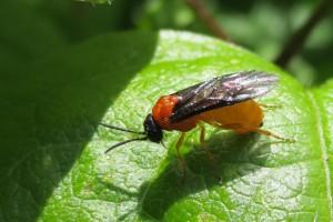 Female old man's beard sawfly
