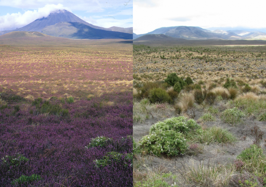 Heather in Tongariro National Park before (2000; left) and after (2021)