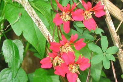Chilean flame creeper flower