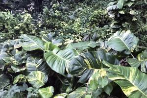 Taro vine infestation in Niue