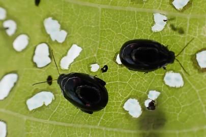 Flea beetle adults and damage