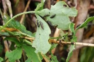 Leaf beetle larvae and damage