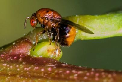Flower-bud-galling wasp for Sydney golden wattle