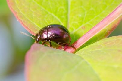 Tutsan beetle
