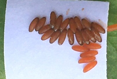 Leaf beetle eggs in the laboratory