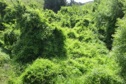 Old man's beard smothering vegetation