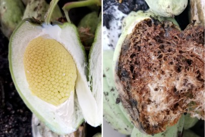 Undamaged fruit pod (left) and damaged fruit pod from larval feeding (right)