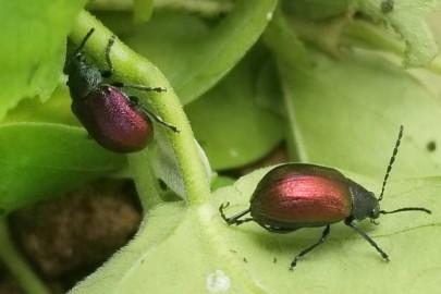 Adult moth plant beetles