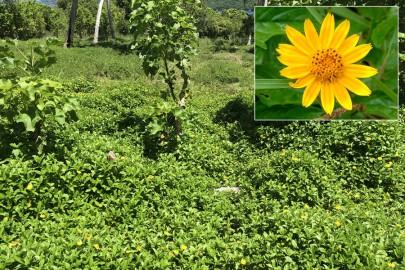 Singapore daisy invading pasture in Tonga