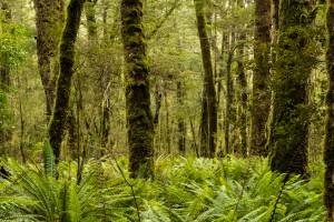 Beech forest along the Kepler Track near Rainbow Reach. Image: Bradley White