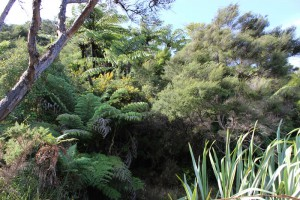 [Kunzea ericoides] and [Cyathea dealbata] in the canopy of a stand of this association. [Ulex europeaus] (in flower) occurs very rarely in these stands. Abel Tasman National Park.