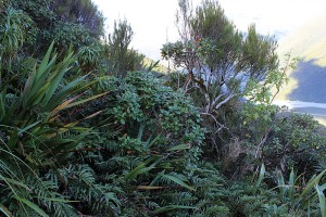 Co-occurrence of [Olearia colensoi], [Dracophyllum traversii] and [Blechnum monae-zelandiae] is one of the combinations of species that indicates this alliance. Kelly Range, Westland.