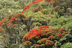 Southern rata. Image: Phil Bendle Collection