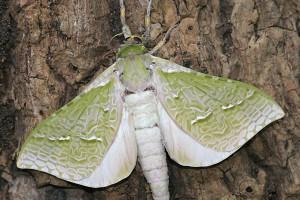 Male puriri moth [Aenetus virescens]. Image: Ruud Kleinpaste © Ruud Kleinpaste