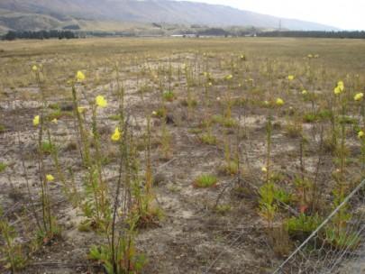 Cromwell Chafer Beetle Reserve with adventive evening primrose ([Oenothera glazioviana]) (Susan Wiser)