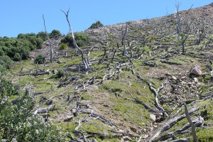 [Metrosideros excelsa] dieback from acid rain and vegetation recovery, Whakaari / White Island (E. Powell)