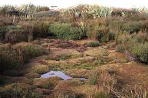 Blanket bog cushions of Donatia novae–zelandiae at Awarua Bog, Southland (Bev Clarkson)