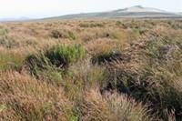 [Sporadanthus traversii] domed bog at Wharekauri, Chatham Island (Bev Clarkson)