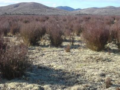 Old tephra plains with monoao ([Dracophyllum subulatum]) heathland at Rangitaiki Conservation Area, central North Island (Susan Wiser)
