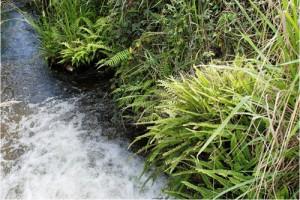 A geothermal streamside at Spa (Otumuheke) Stream, Taupo, with native ladder fern ([Nephrolepis flexuosa]), Christella 'thermal', inkberry ([Dianella nigra]), and adventive blackberry ([Rubus fruticosus]) (Bruce Burns)