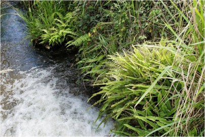 A geothermal streamside at Spa (Otumuheke) Stream, Taupo, with native ladder fern ([Nephrolepis flexuosa]), Christella 'thermal', inkberry ([Dianella nigra]), and adventive blackberry ([Rubus fruticosus]) (Bruce Burns)