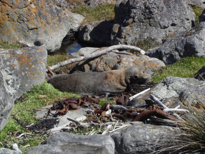 Marine mammal haul-out with a New Zealand fur seal at Turakirae Head, southeast of Wellington (Rowan Buxton)