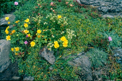 Rare native plants on seabird nesting sites, South Brothers Island (Shannel Courtney)