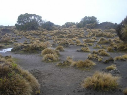 Volcanic dunes of the Rangipo ´Desert´, with widely spaced bristle tussock, [Rytidosperma setifolium] and islands of shrubby vegetation (Susan Wiser)